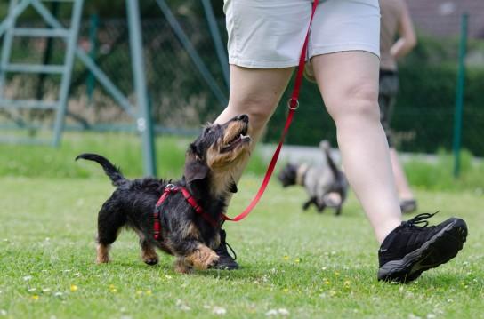 dachshund_dog_school_dog_training_obedience_training_rauhaardackel-897885