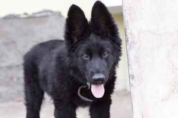 black belgian shepherd puppy